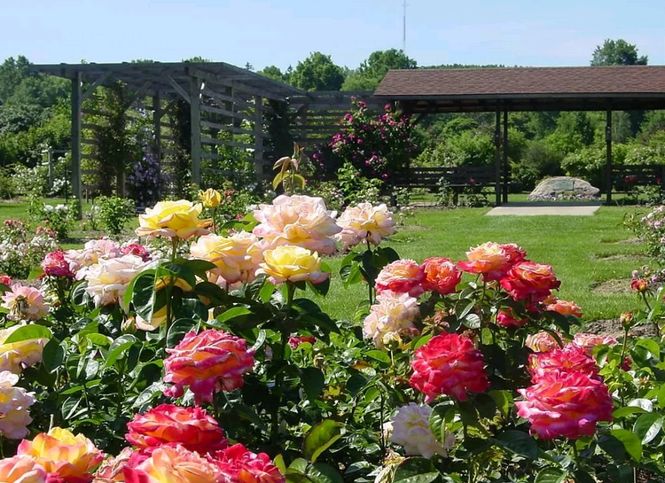 Planting roses in the summer