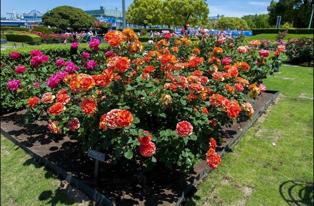 Роза флорибунда уход посадка и уход в открытом грунте