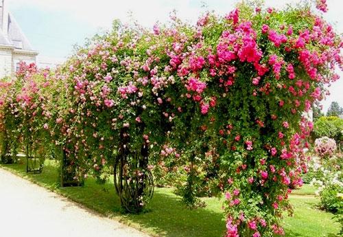 Пергола для роз