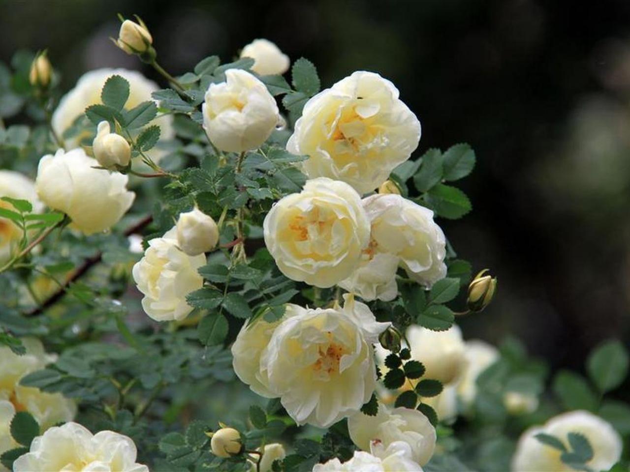 чайная роза фото кустарник поразитесь великолепию готической