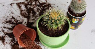 Фото пересаживания кактусов
