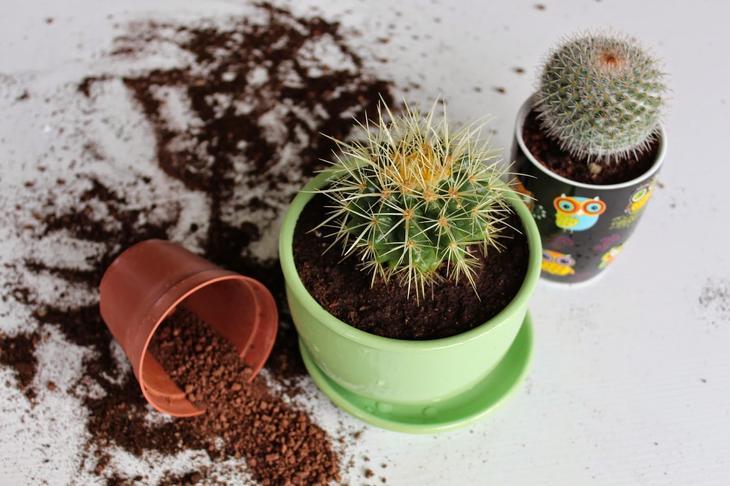 Как пересадить кактус в другой горшок