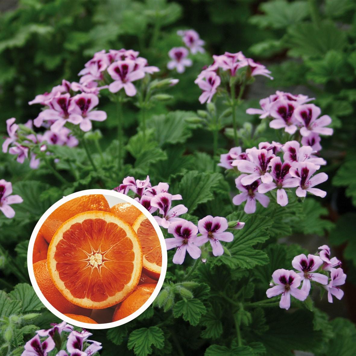 Geranium Gourmet Grandeur odorata Orange
