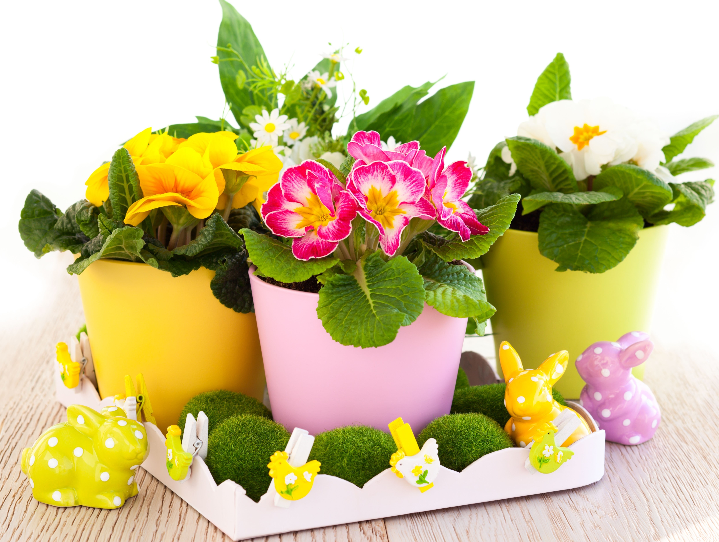 houseplant primrose potted
