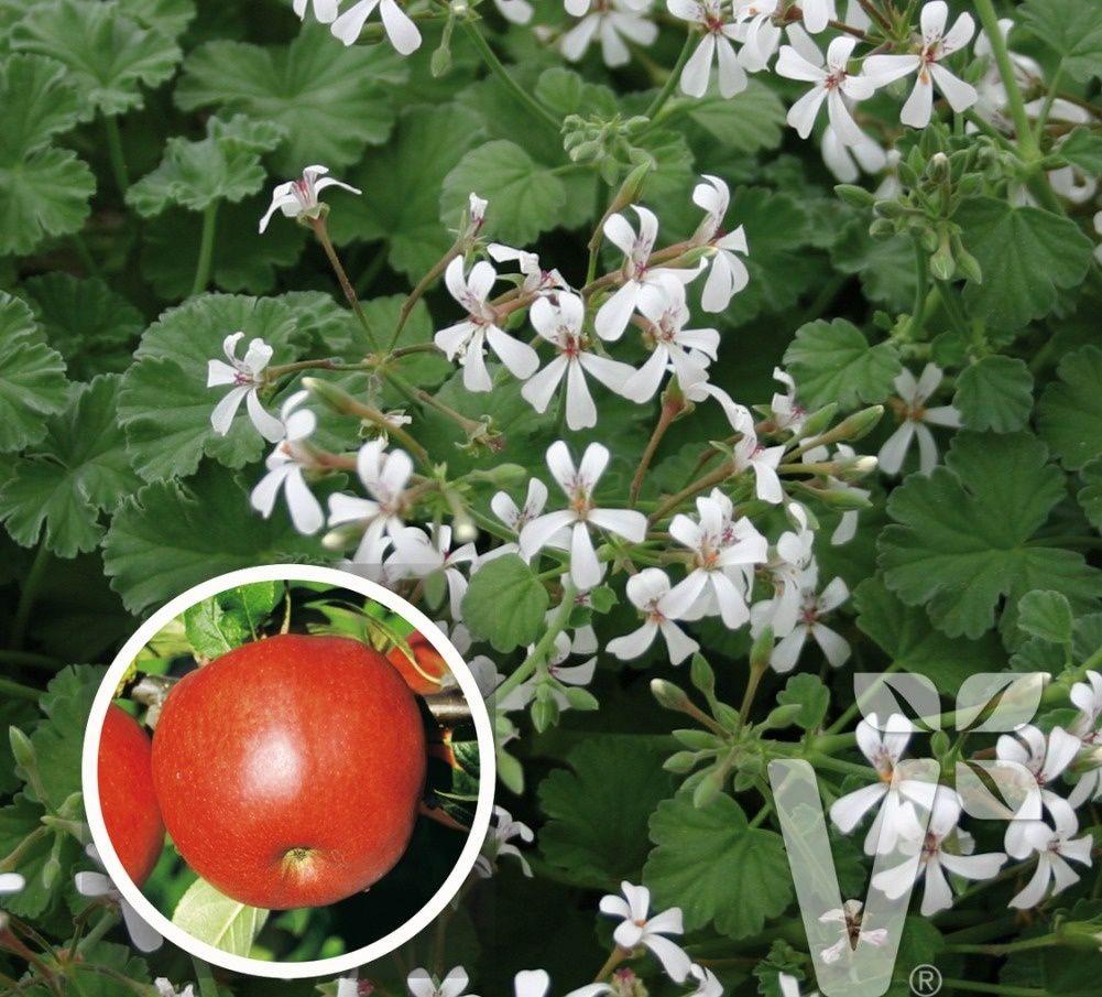 Пеларгония ароматная яблоко