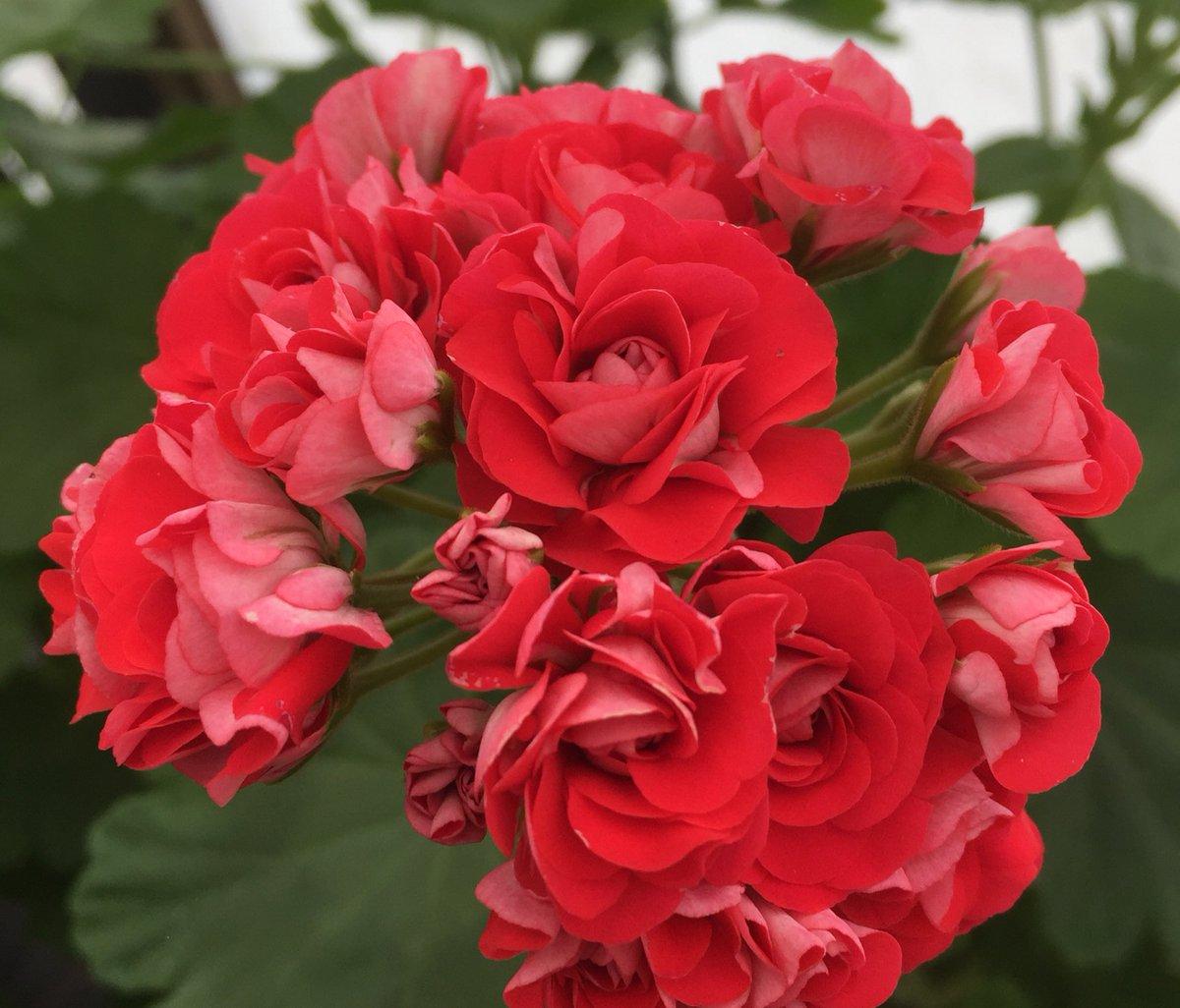 Pelargonium rozebudnaya Pink rambler