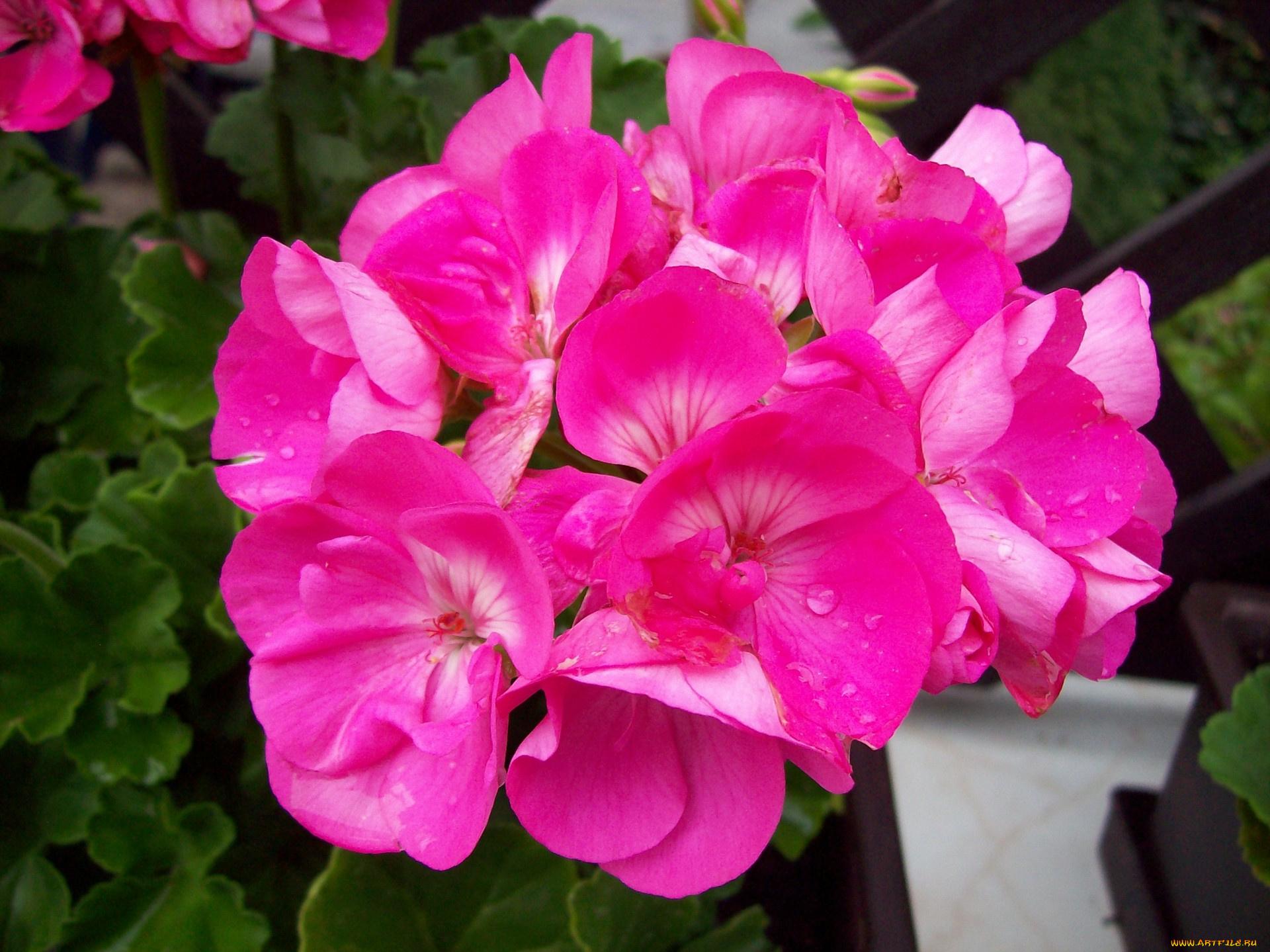 Pelargonium pink photo