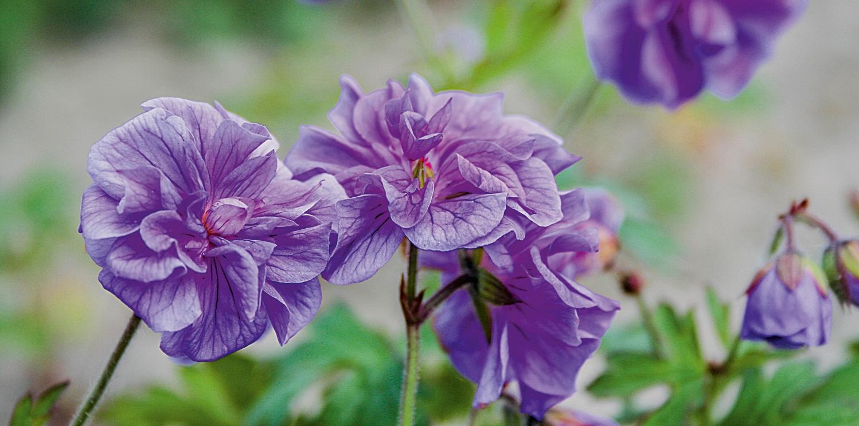 geranium Himalayan garden