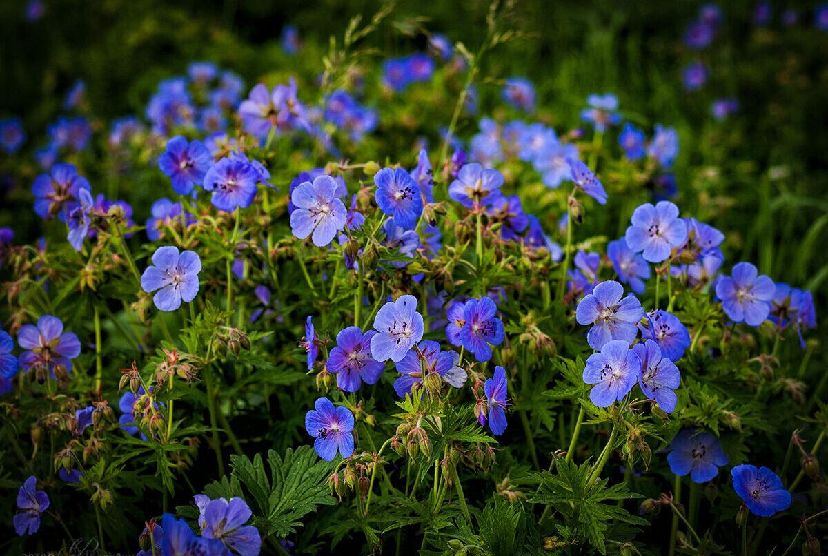 Meadow Geranium picture