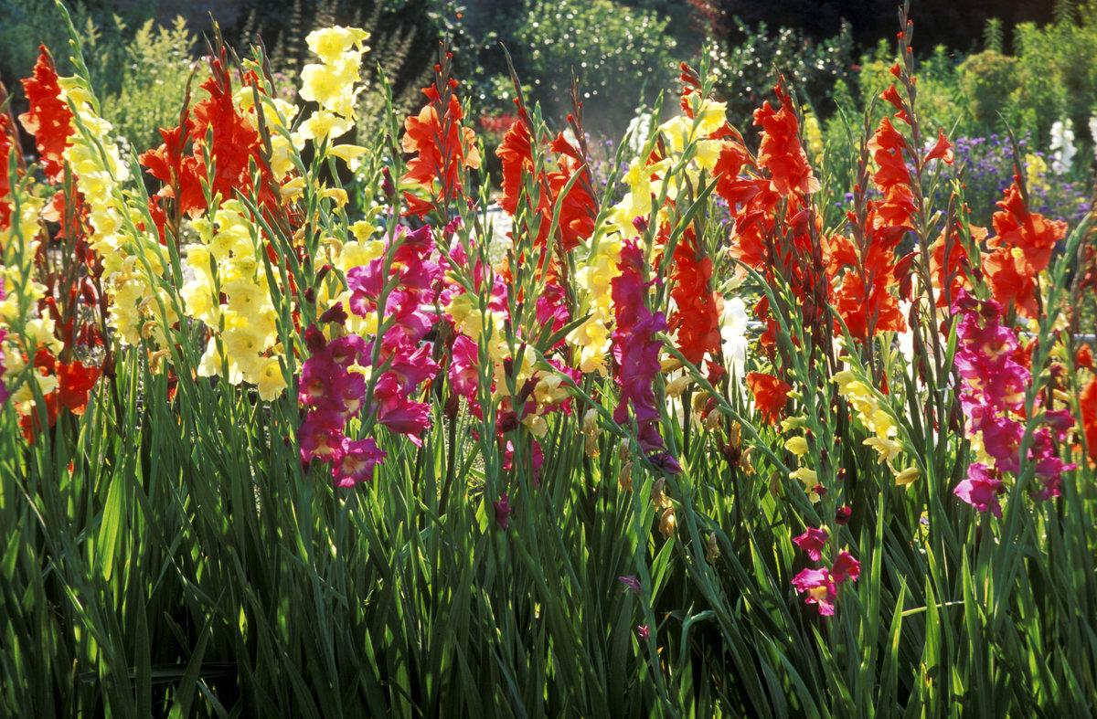 Cultivation gladioli garden
