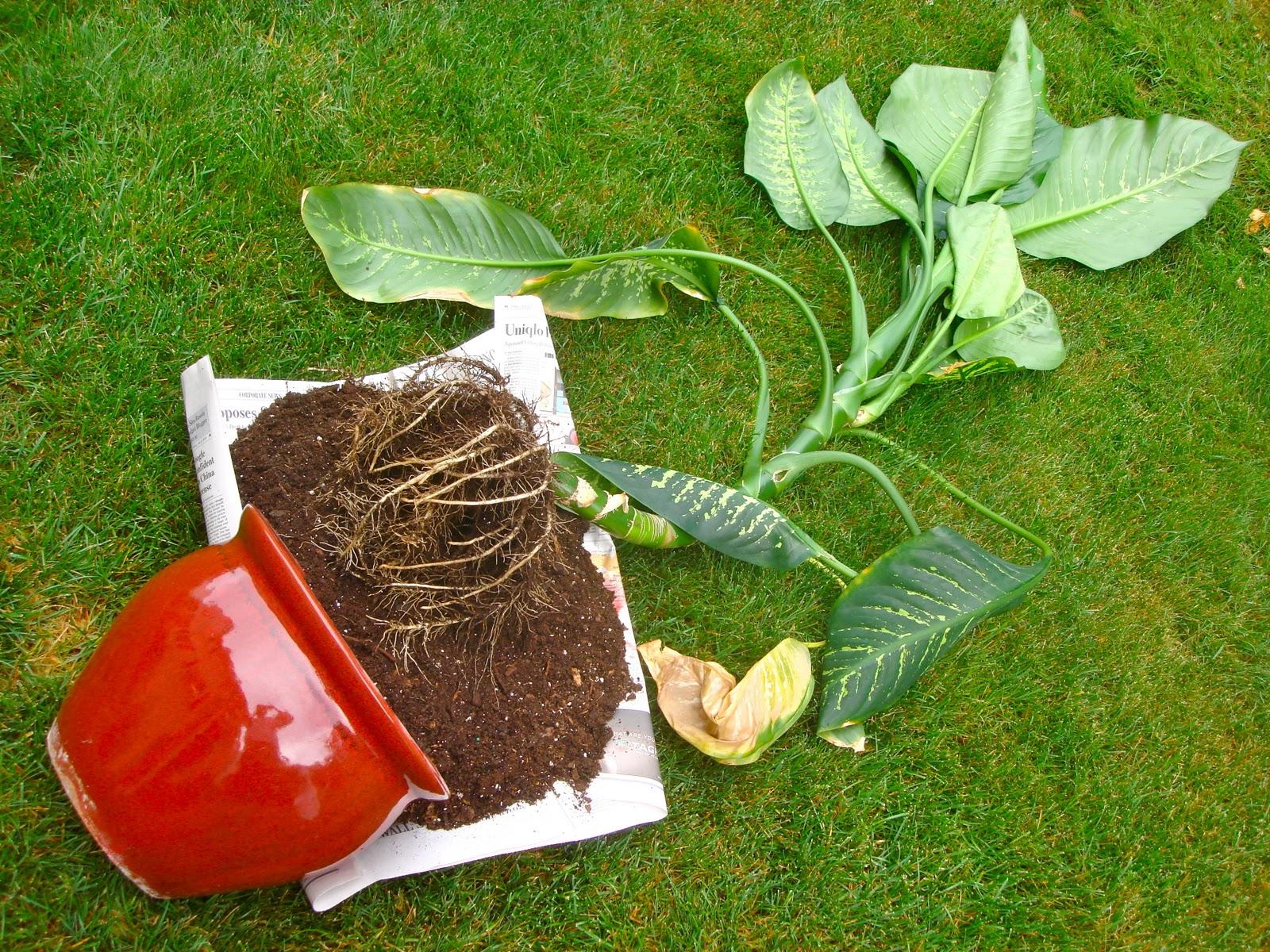 Dieffenbachia ground for transplanting