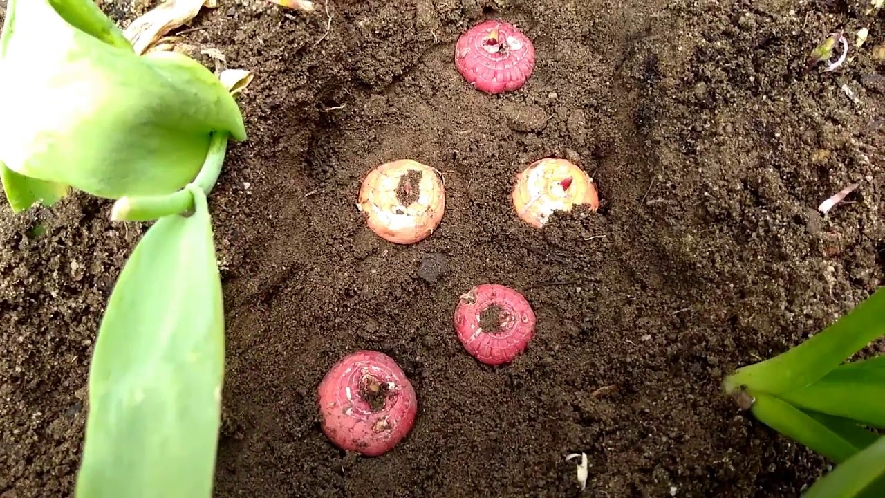 gladiolus bulbs, planting in soil