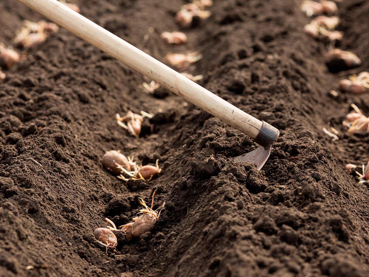 photos Rosary planting potatoes