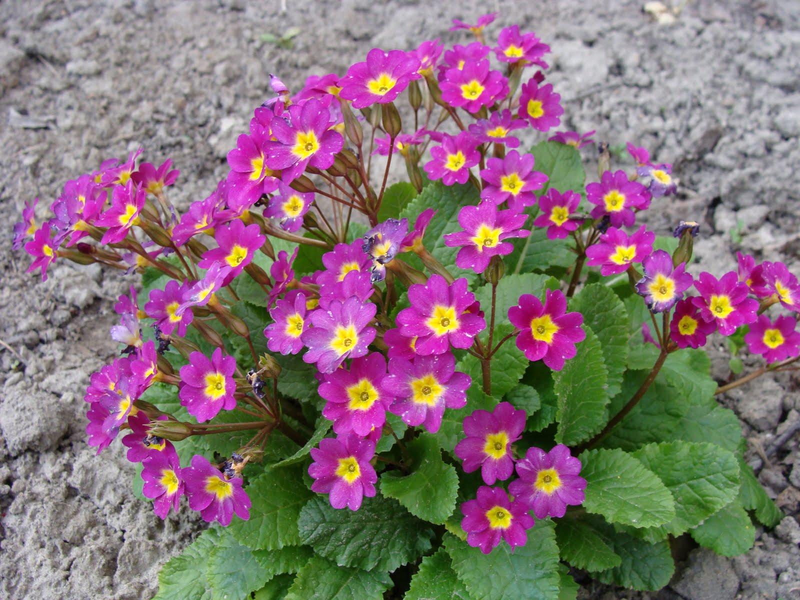garden primrose