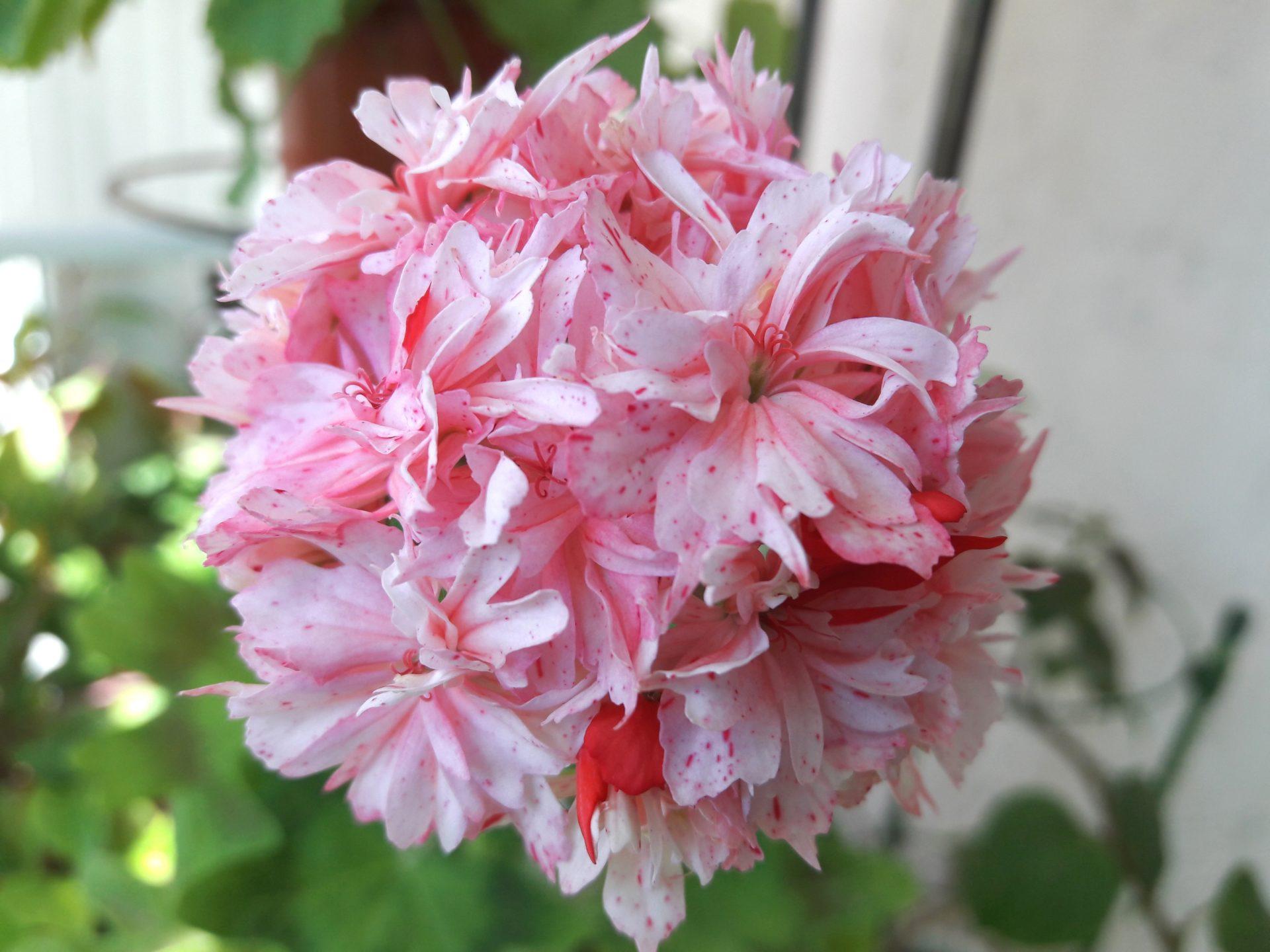 Richard Pelargonium Hudson (Richard Hodgson)