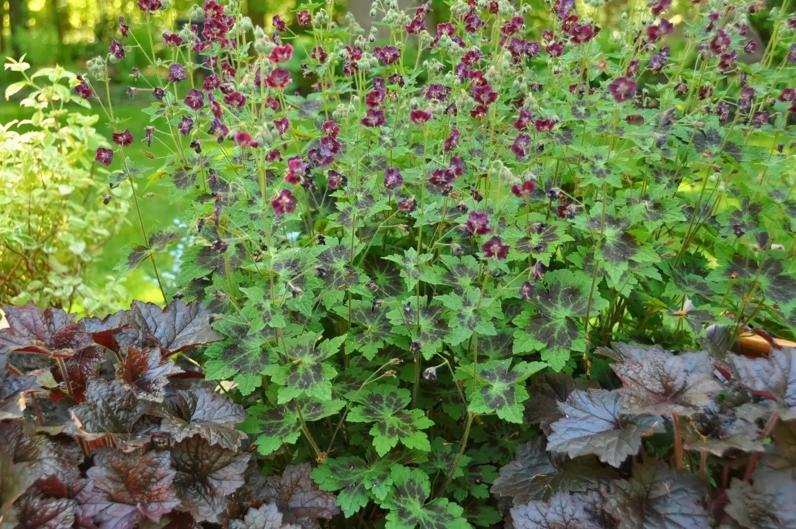 Geranium dark Samobor