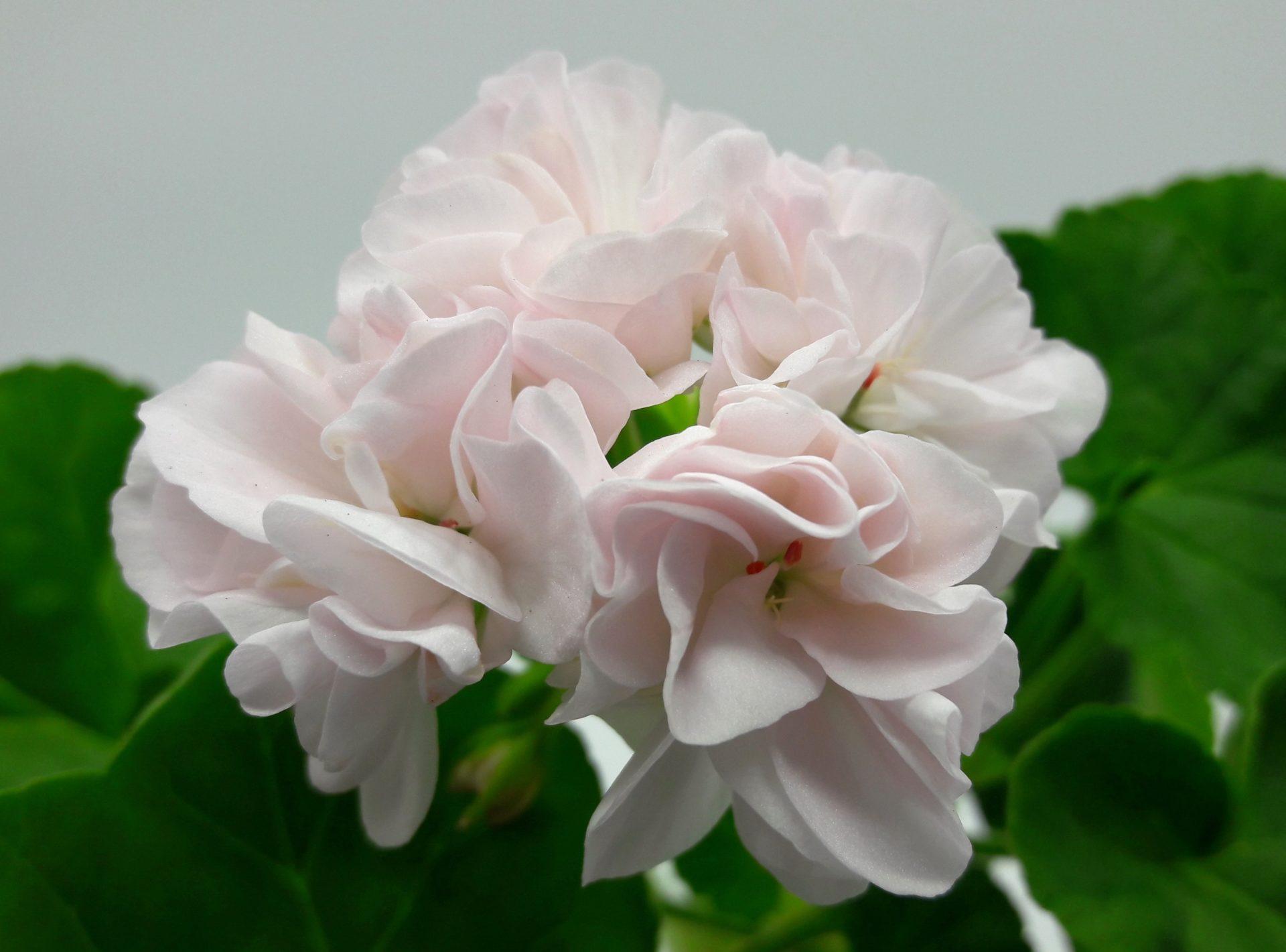 Silk swan pelargonium photo