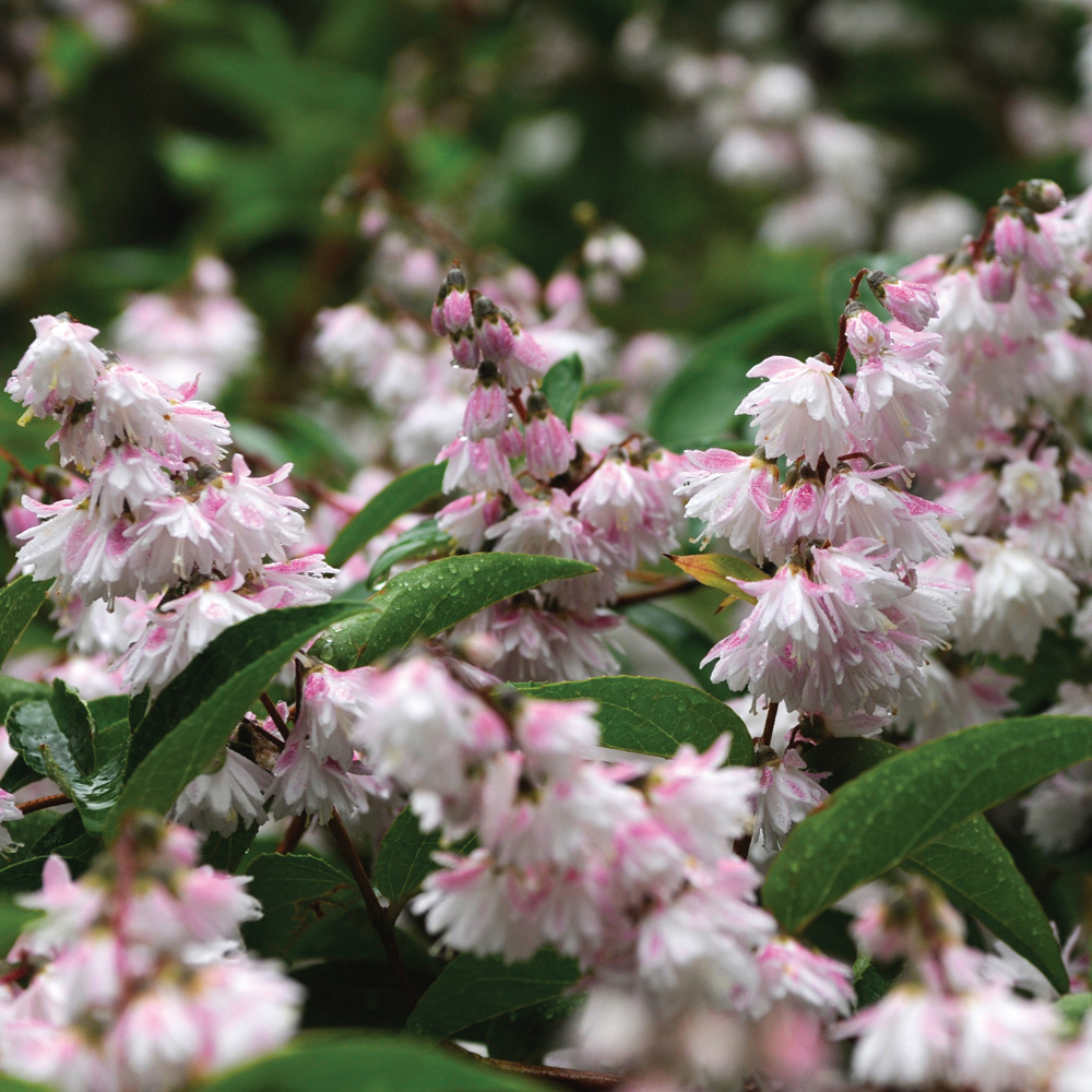 shrub Deutzia rough
