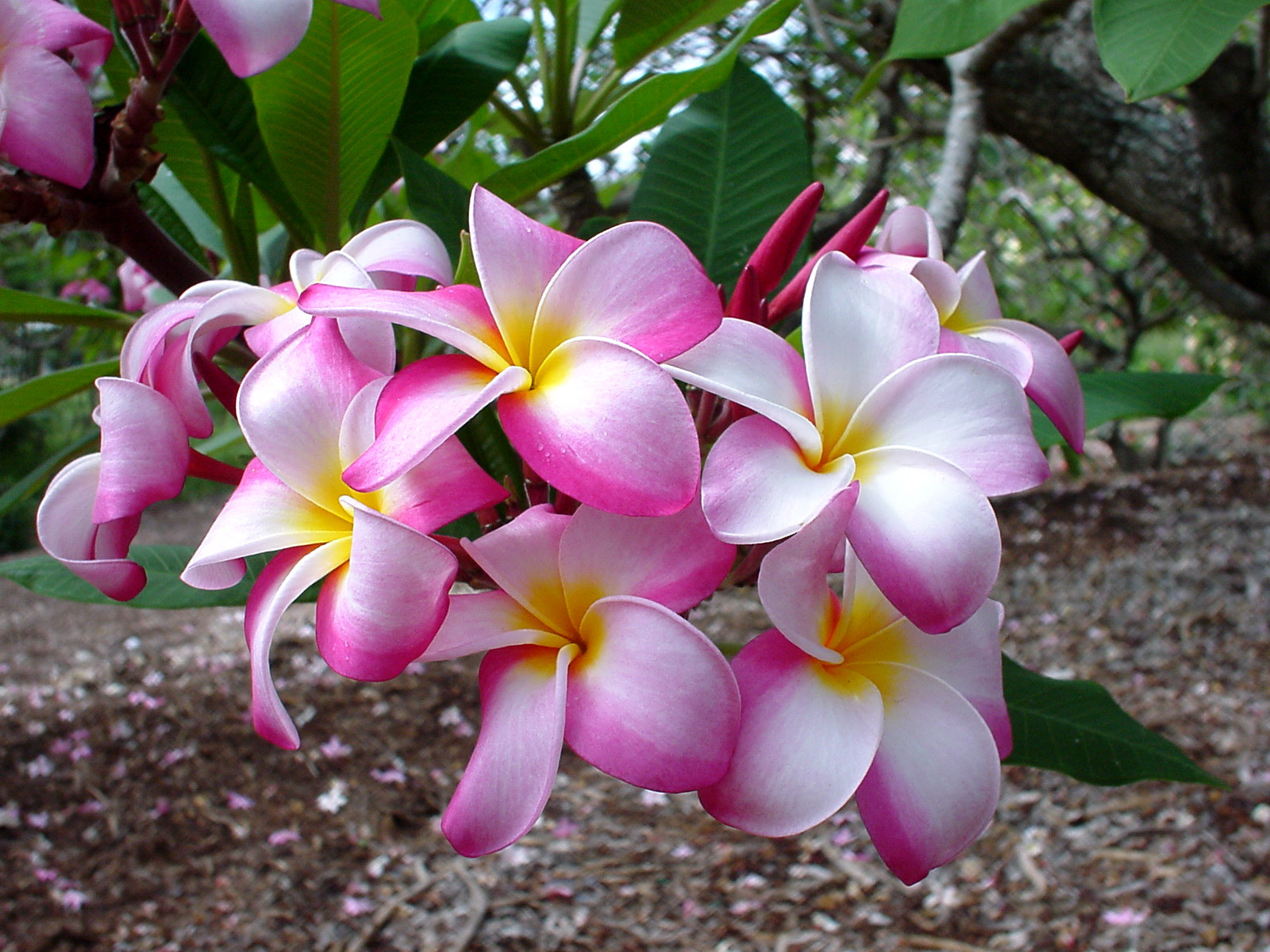 Плюмерия цветок фото