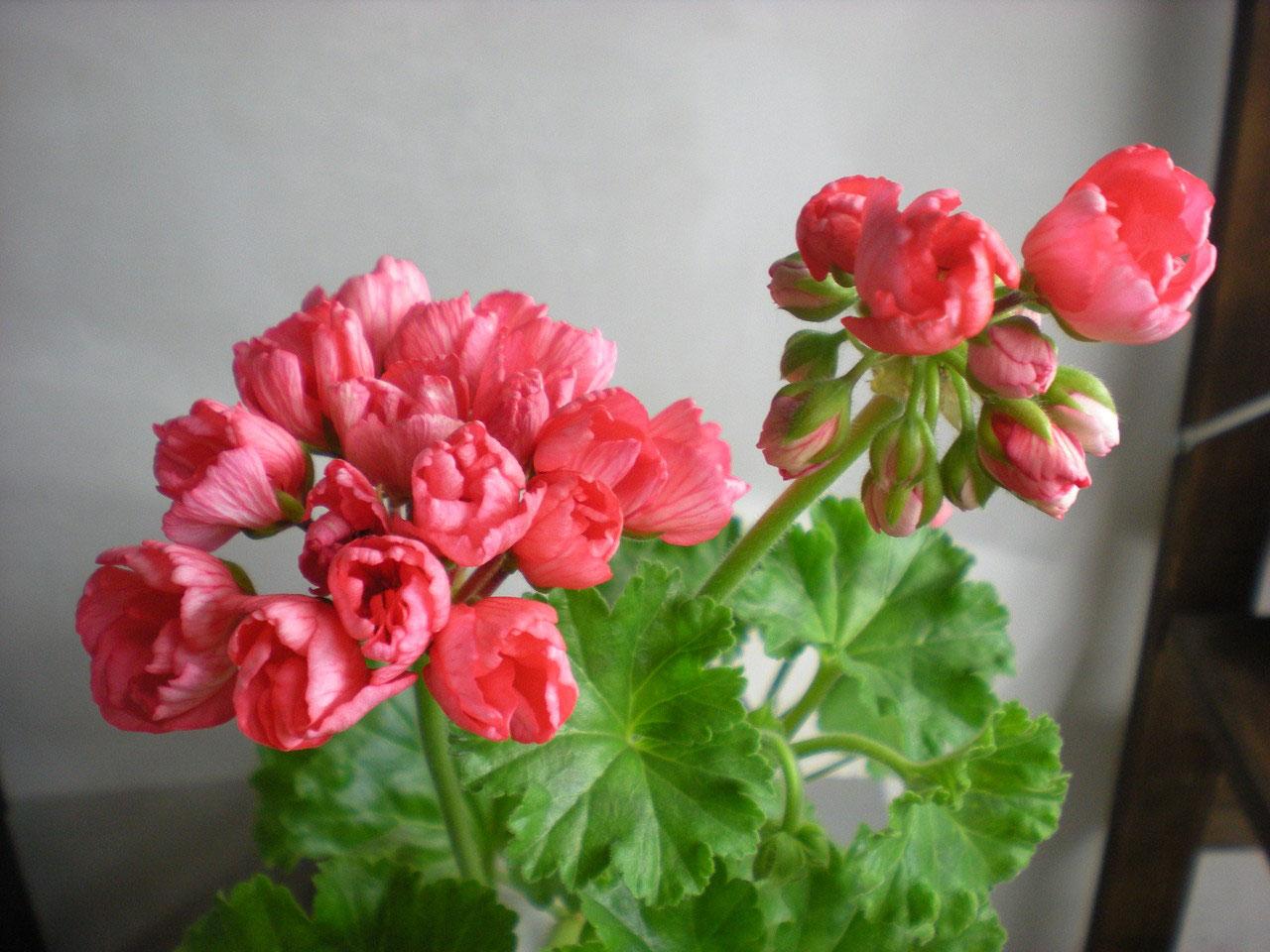 Pelargonium Fringed Patricia Andrea tulip pelargonium