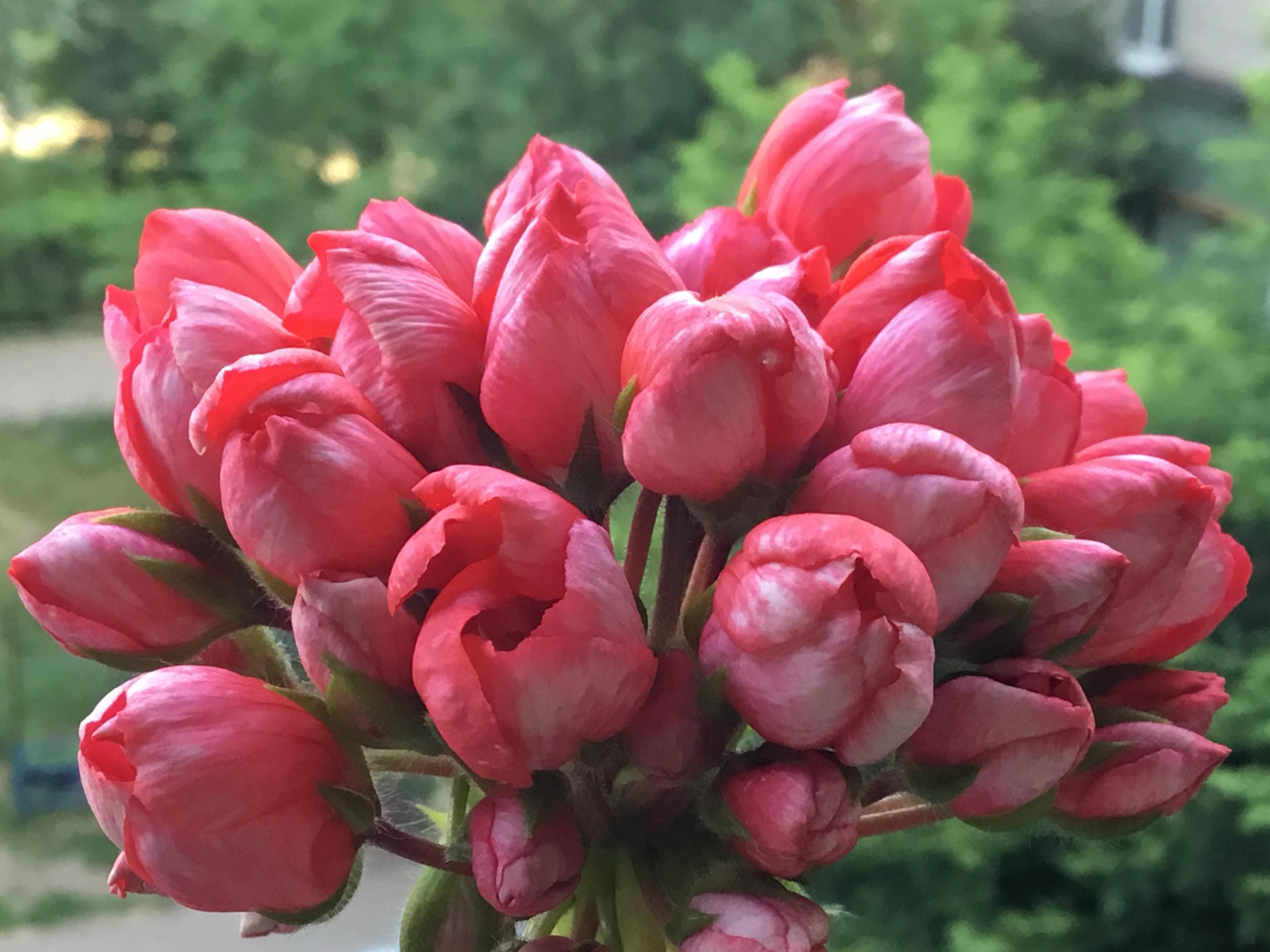 tulip geranium picture