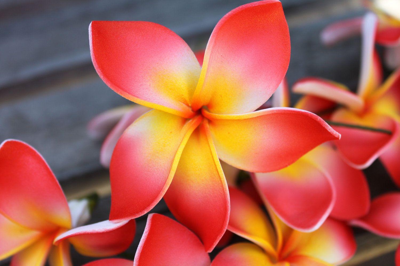 Красная Плюмерия цветы фото