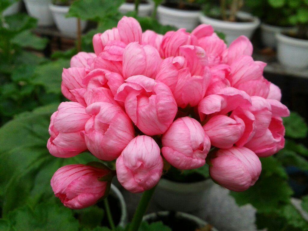 tulip Pelargonium pink
