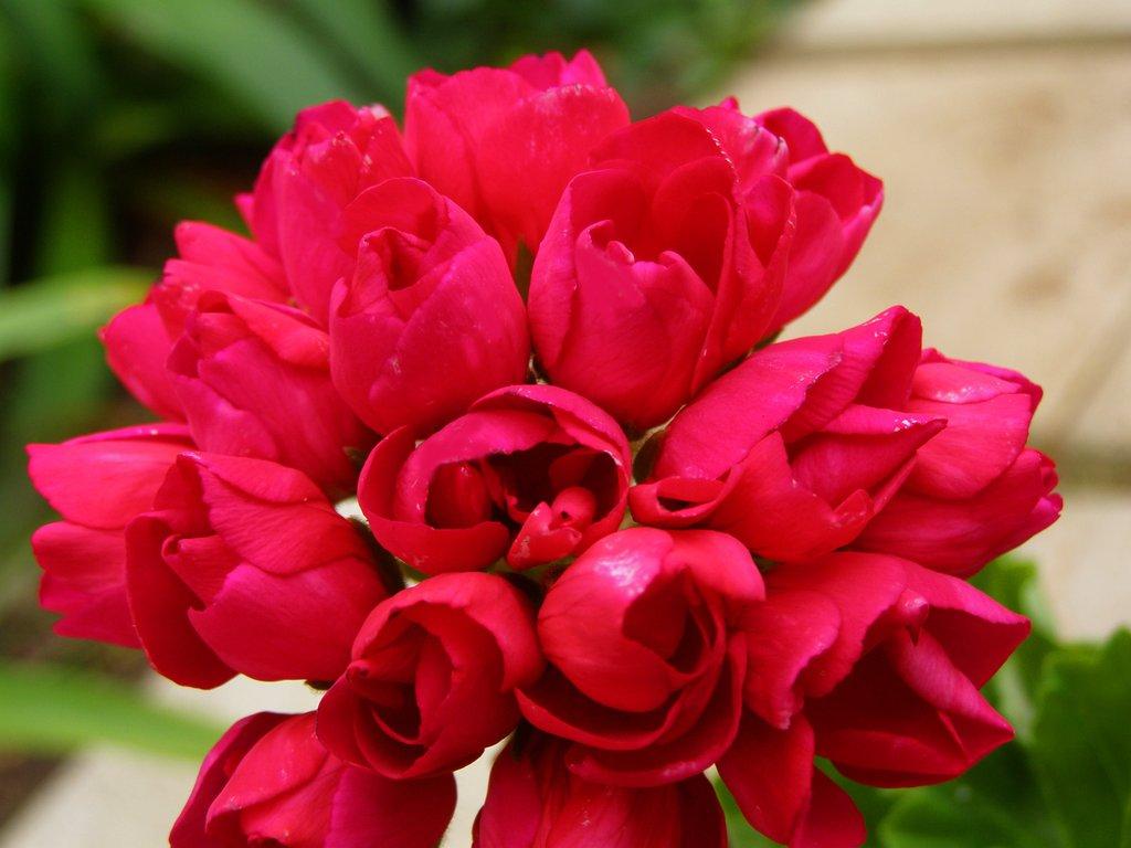 Pelargonium Lilian Andrea