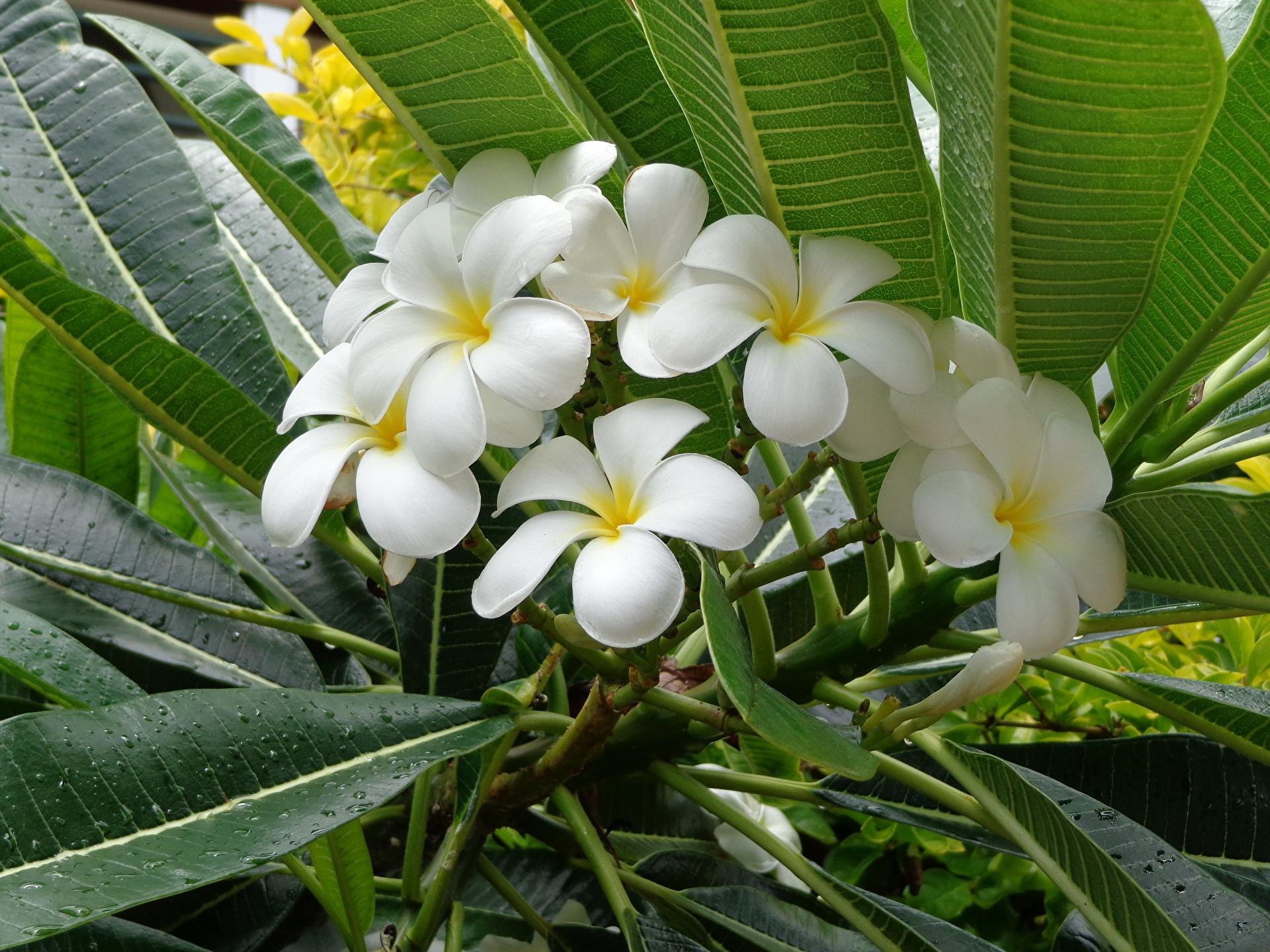 Франжипани цветок фото