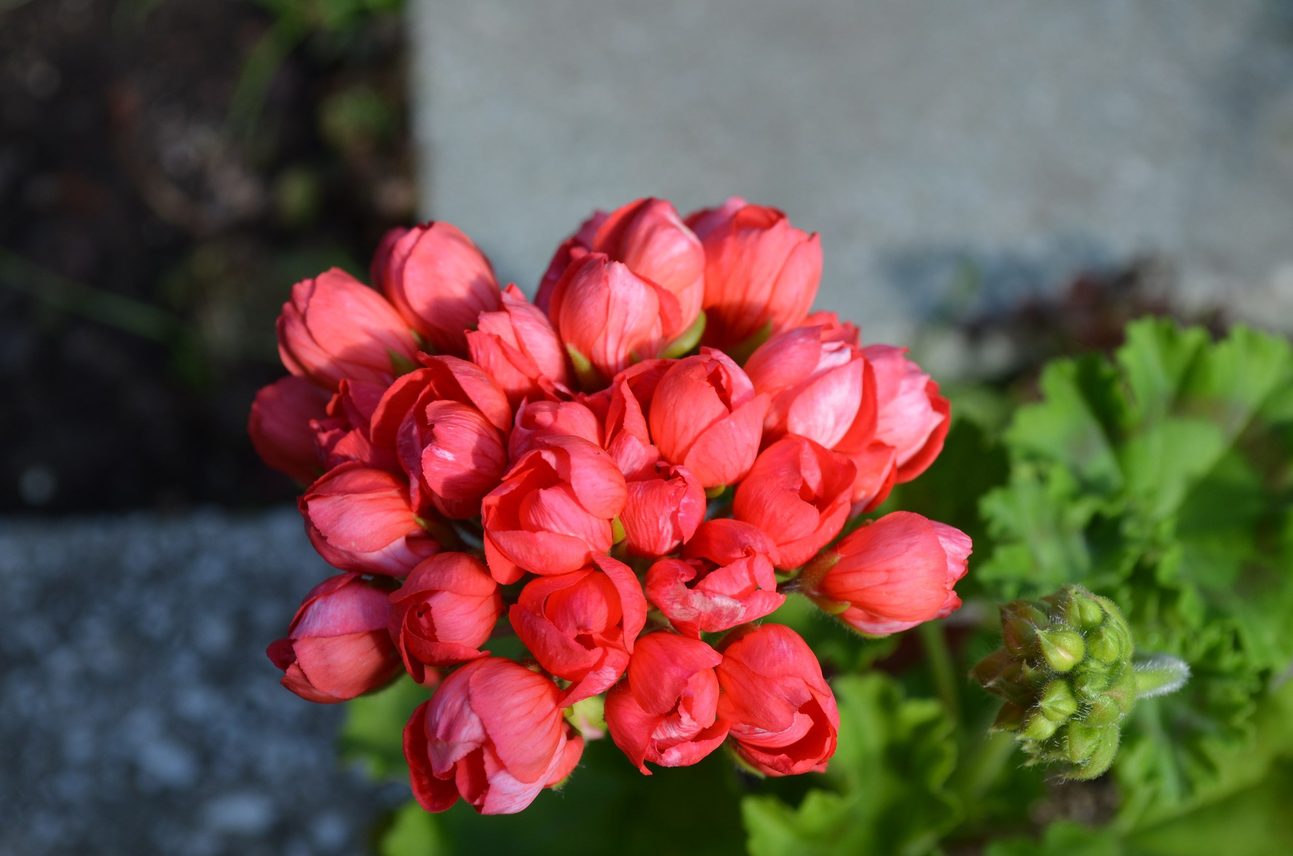 tulip Pelargonium Red pandora photo