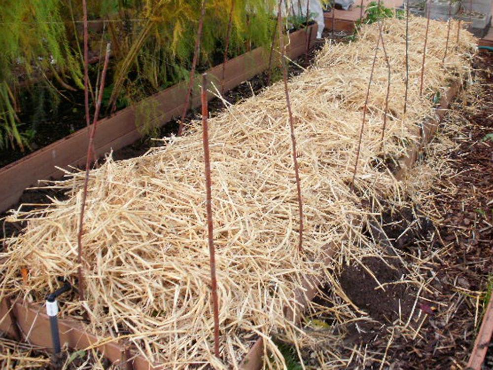 Укрытие клубники соломой на зиму