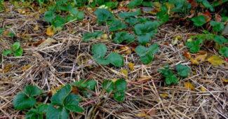 Кустики клубники осенью фото