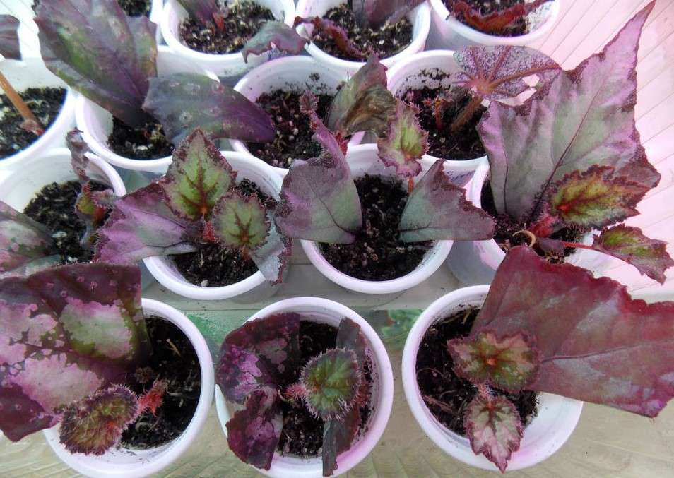 Reproduction begonias picture