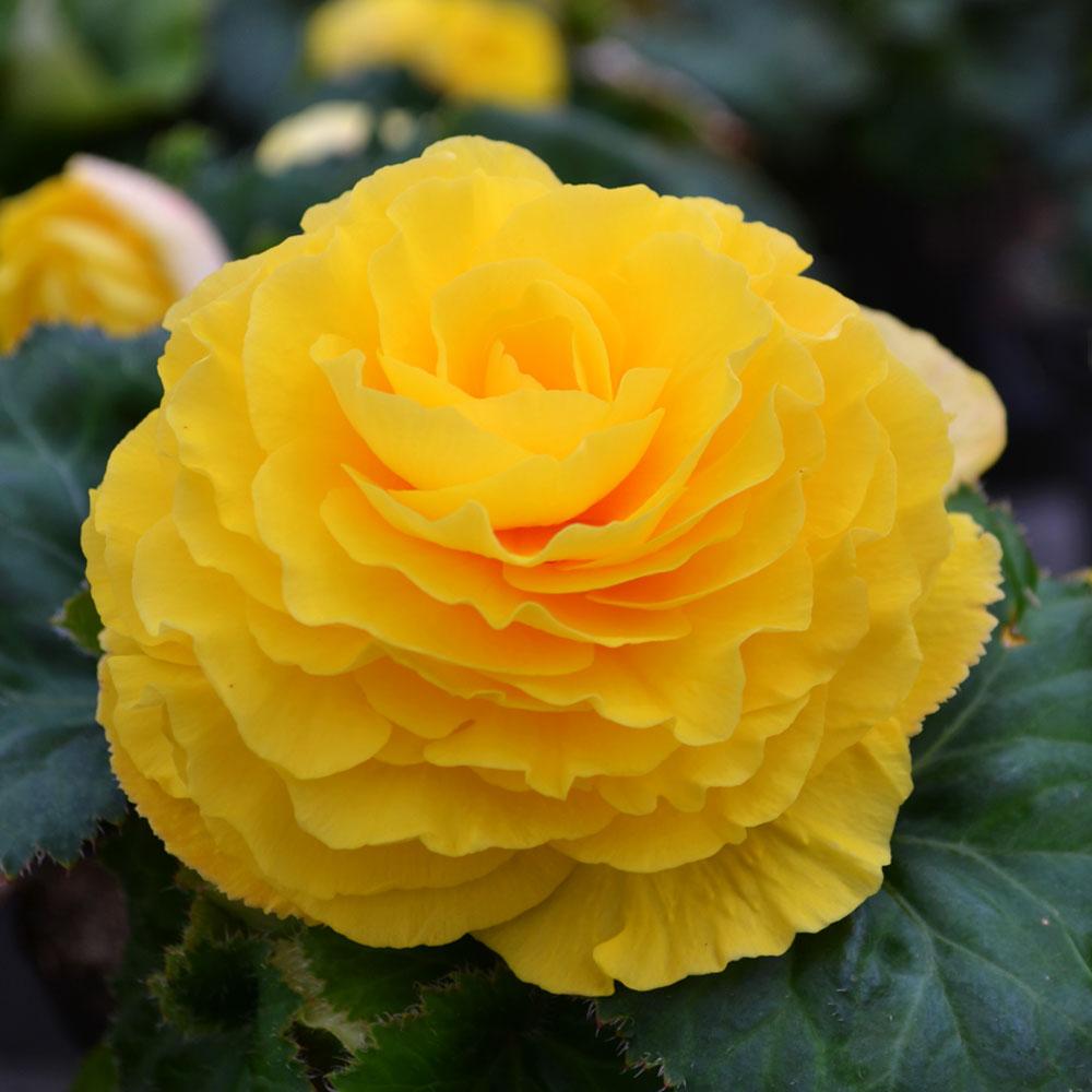 Бегонія бульбова AMERIHYBRID Ruffled Yellow