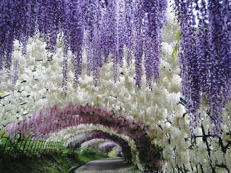 Тоннель глициний в Японии
