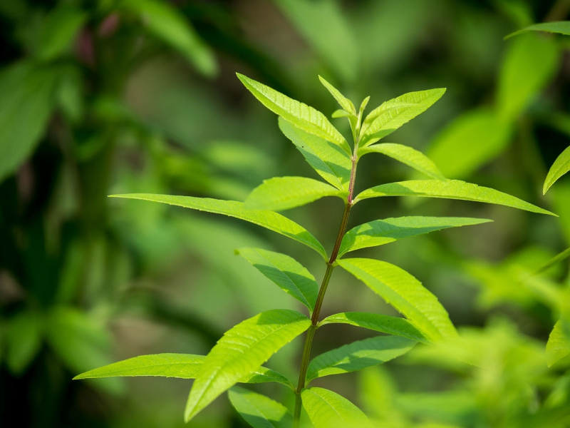 Алоизия рослина фото