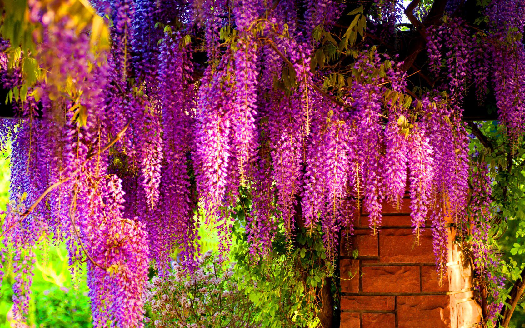 photos Tree Wisteria