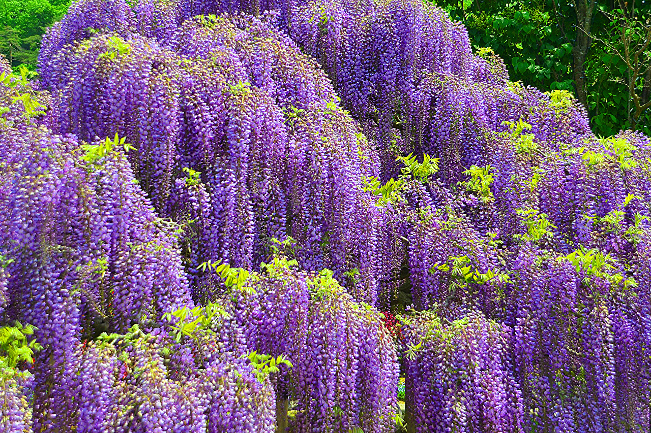 photos Wisteria flowers