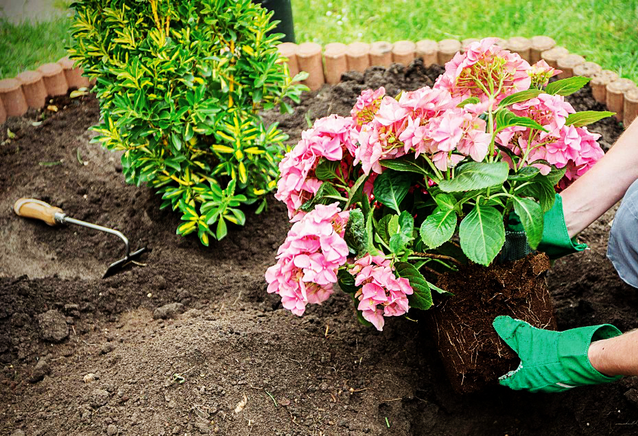 Planting hydrangeas in open ground