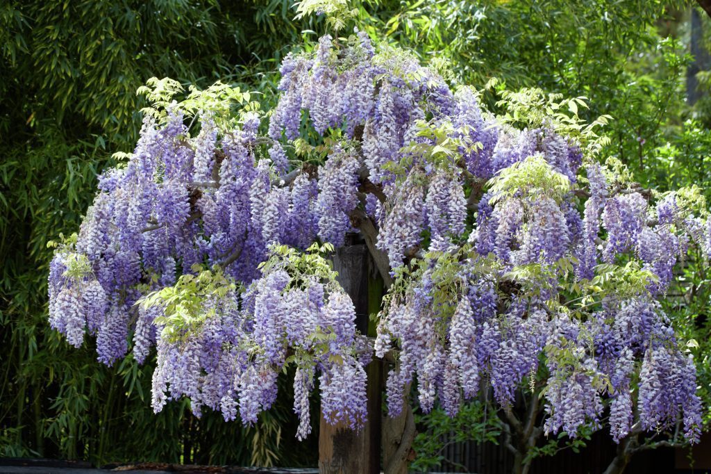 photos Chinese wisteria