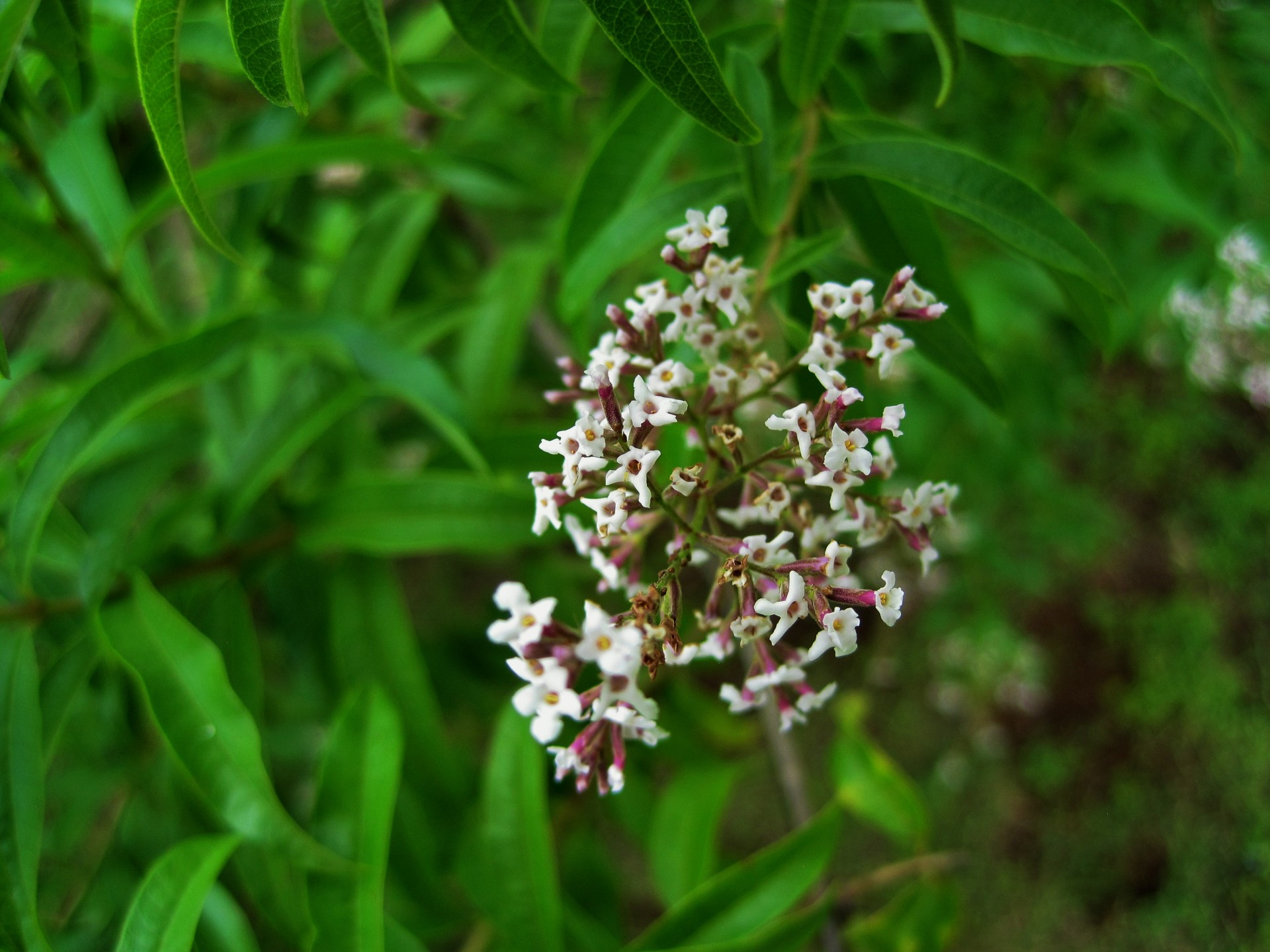 lemon Verbena - Lippia citriodo