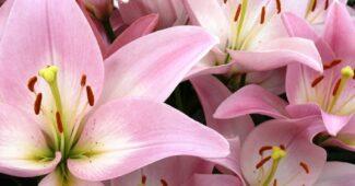 растение лилия фото