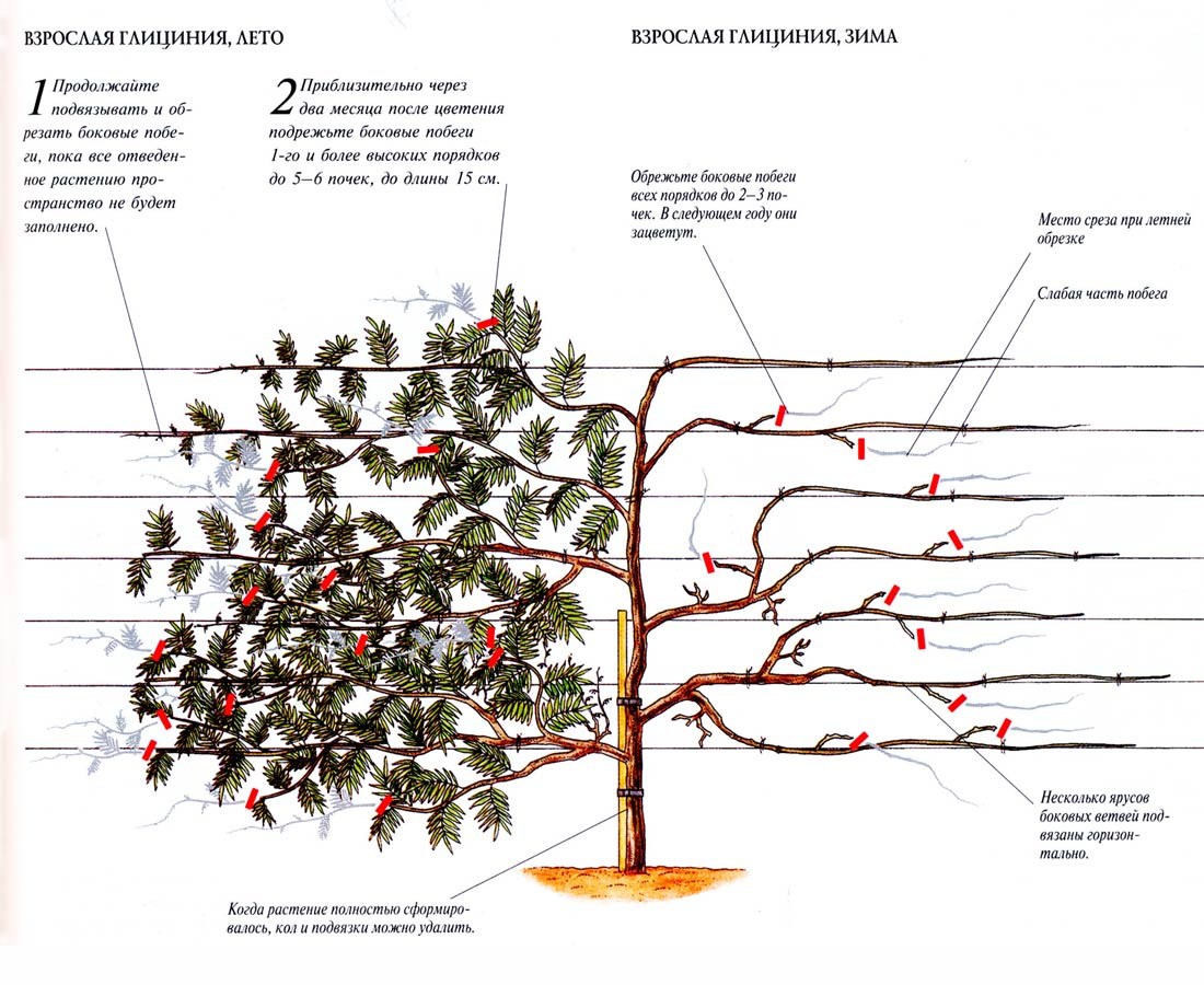 Схема формирования штамбовых деревьев