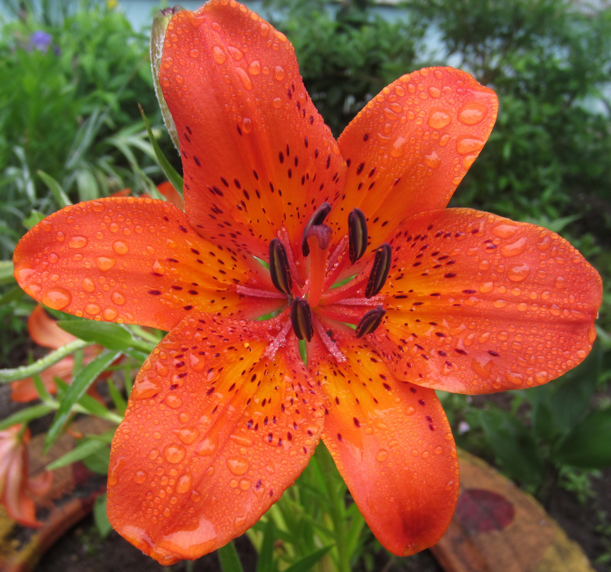 Fire Lily flower