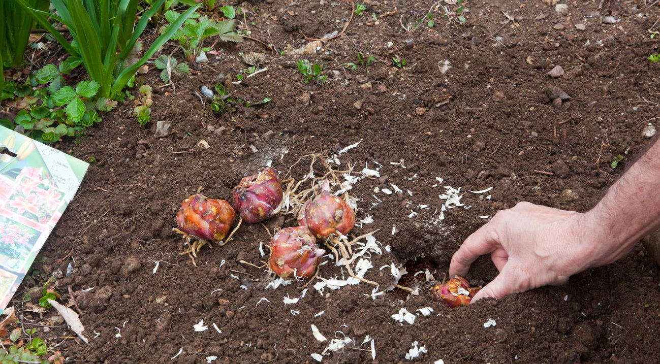 Садимо лілії восени