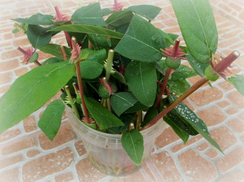 cuttings honeysuckle Perfoliate