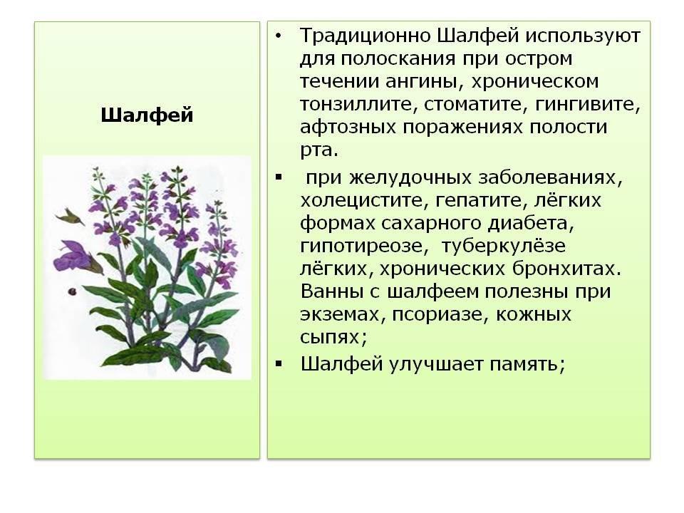 Шалфей лекарственный применение