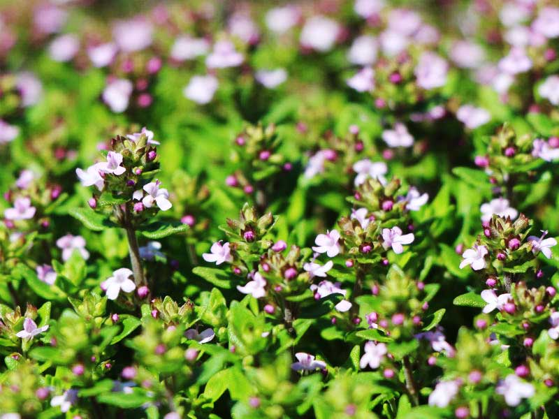Thyme ordinary picture