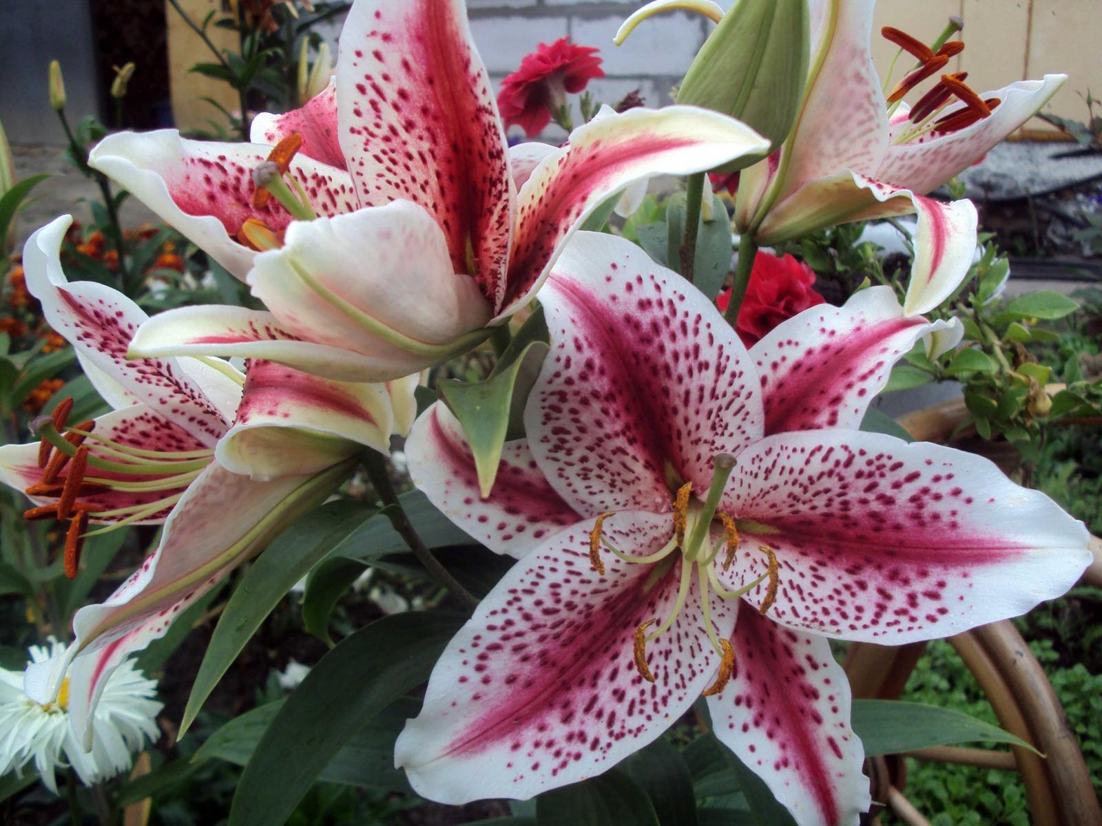 Oriental Lily photo