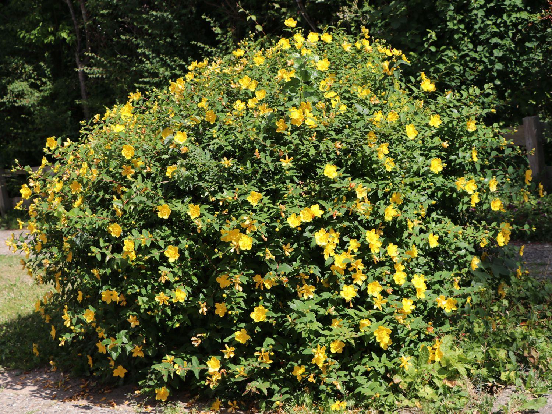 Hypericum shrub Hypericum patulum